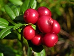 Cowberry (Vaccinium vitis-idaea)